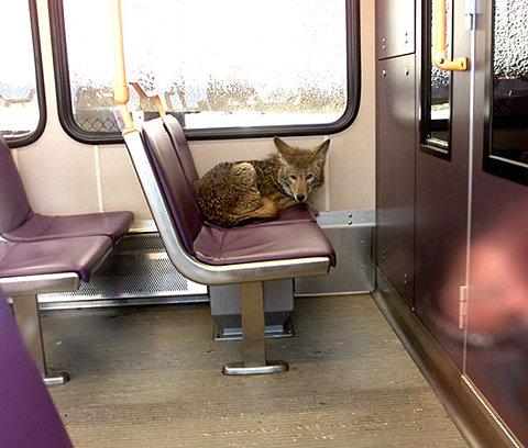 foxy subway